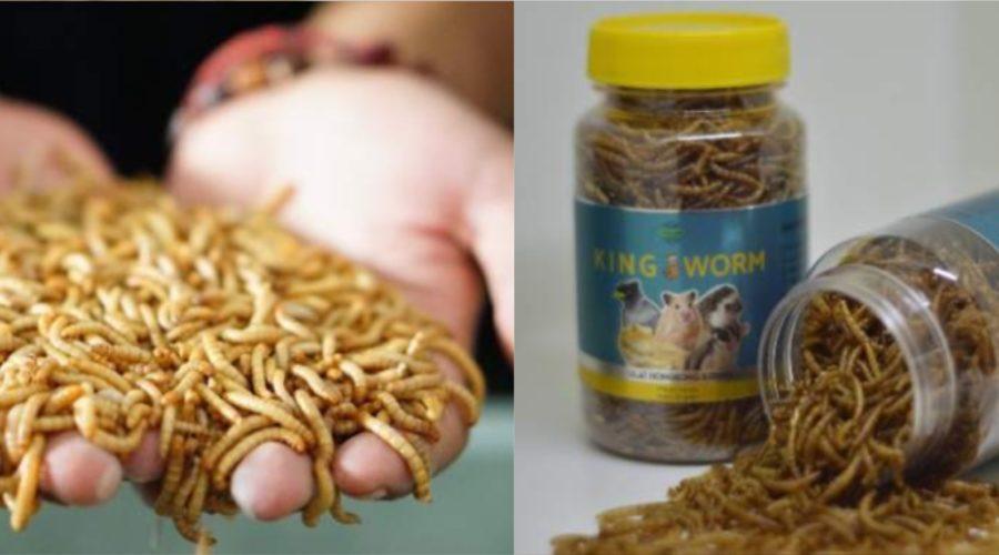 sugeng jaya farm kingworm